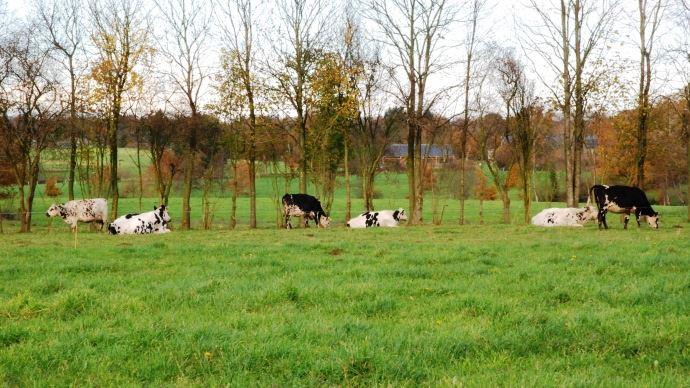 Le troupeau normand et croisé est rustique et la qualité du lait convient bien à la fabrication de fromage par la coopérative.