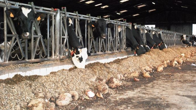 En plus de l'ensilage de maïs et du pâturage, les vaches laitières consomment des betteraves fourragères