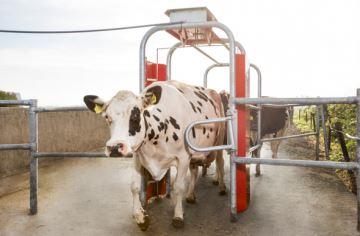 Lely Grazeway R calcule le temps de pâturage des vaches