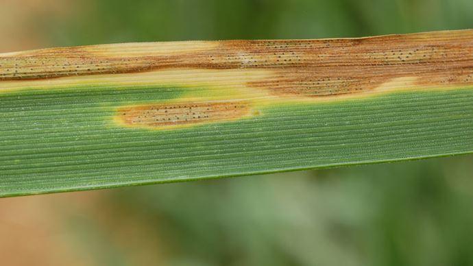 Symptômes de septoriose sur blé