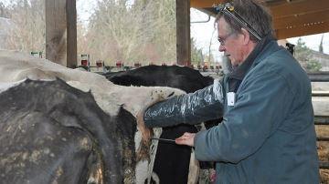 L'insémination artificielle a toujours la cote dans les élevages