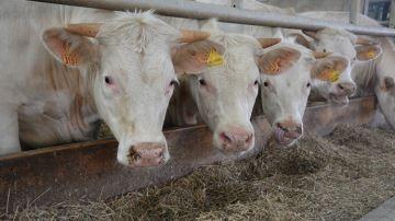 L'efficacité alimentaire du troupeau passera bientôt par le choix du taureau