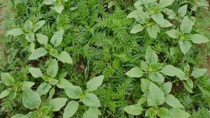 Mélange semé en avoine, tournesol, phacélie, radis chinois et vesce au salon Tech et bio à La-Roche-sur-Yon fin mai. Il vise à restructurer le sol, capter l'azote, concurrencer les adventices et peut être valorisé en fourrage.