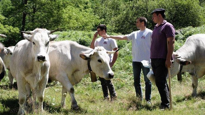 Les Gasconnes passent quatre mois en montagne, ce qui laisse temps aux éleveurs de constituer leur stock de fourrage.