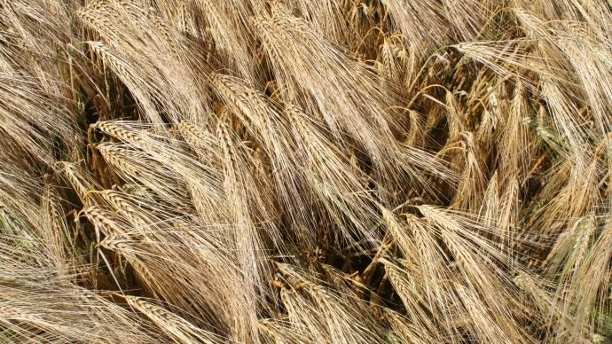 Les rendements 2018 d'orge semblent légérement inférieurs chez les éleveurs que chez les céréaliers