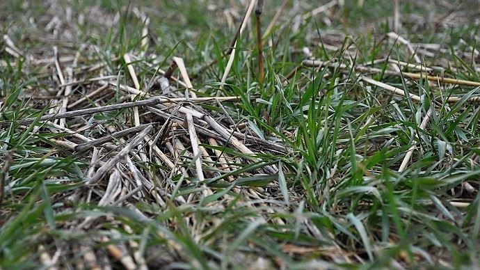 Les couverts végétaux peuvent être pâturés, exploités en vert ou fauchés.