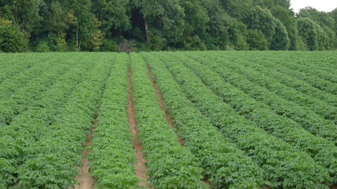 Les rendements de pommes de terre, en France et, plus largement, en Europe de l'Ouest, pourraient être inférieurs de 15 à 25% par rapport à la moyenne de ces dernières années.