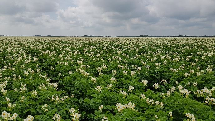 Pommes de terre Challenger