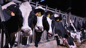 L'exportation de lait en Chine, un eldorado bien fragile