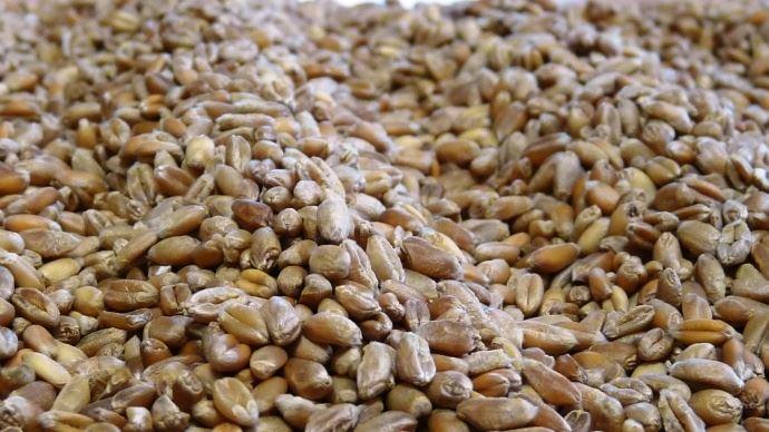 Le blé tendre 2018 semble idéal pour l'alimentation animale: sa faible teneur en eau assure une bonne conservation et sa teneur en protéines dépasse la moyenne des cinq dernières années.