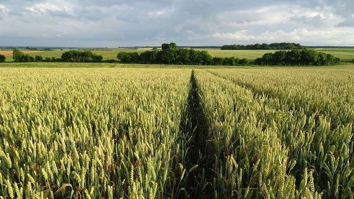 Champ de blé tendre