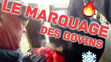 Étienne agri youtubeurre nous fait découvrir le marquage des bovins
