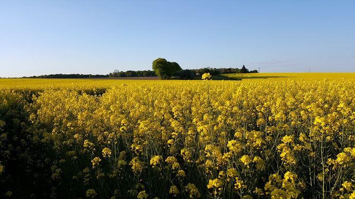 Le think tank AgriDées suggère de réorienter la recherche variétale sur colza en se focalisant sur le taux protéïque et non plus la teneur en huile.
