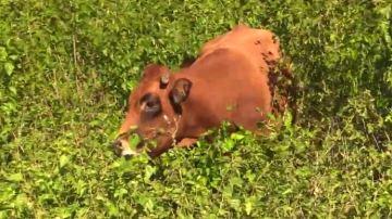 Du murier blanc à 17% de MAT dans la ration des bovins allaitants