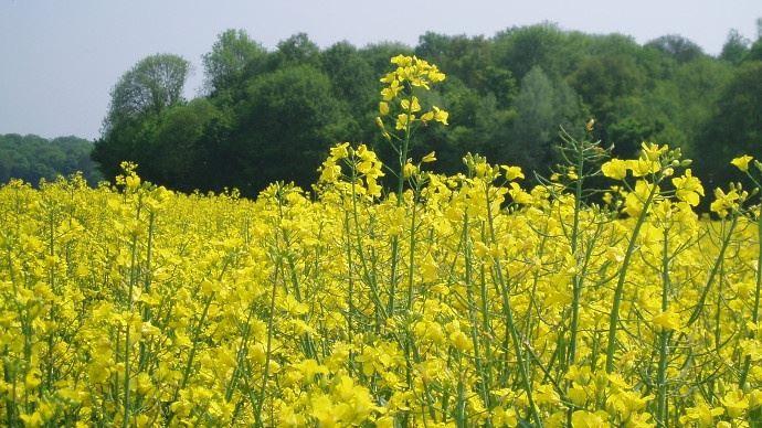 . En Europe, les cours du colza sont soutenus à court-terme par la demande en biodiesel de colza sur la période hivernale. Mais cette demande devrait s'estomper en avançant vers le printemps.