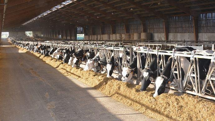 Nutrition des grands troupeaux de vaches laitières: conseil pour bien alimenter et gagner du temps