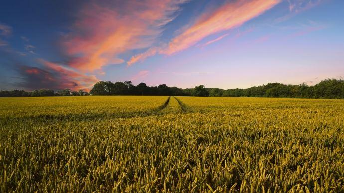 Champs de blé ; couché de soleil