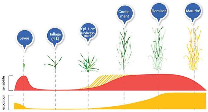 Sensibilité du blé au stress hydrique selon le stade