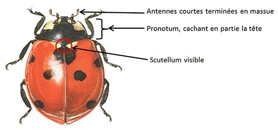 Description d'une coccinelle