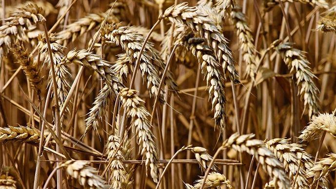 Les semences de ferme représentent 50% des semences utilisées par les agriculteurs. 60% des semences de ferme sont triées par des trieurs à façon.