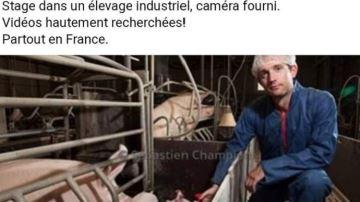DxE recrute des stagiaires dans les élevages pour filmer à l'insu des éleveurs