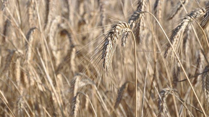 Interdiction de broyer les pailles dans le département de la Creuse pour la récolte 2019.