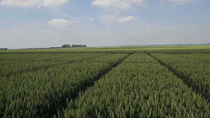 Essais de blé