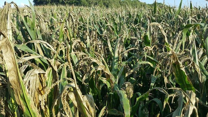 Les maïs ont souffert du manque d'eau et la partie tiges + feuilles s'est vite desséchée. Les ensilages sont lancés dans les secteurs les plus critiques.