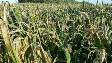 Des récoltes qui s'annoncent soit prometteusesou trèssèches