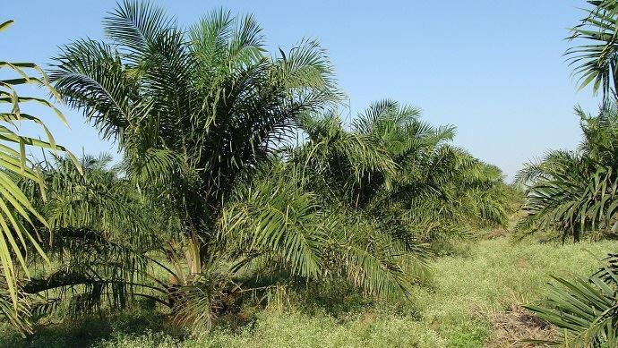Arbre huile de palme