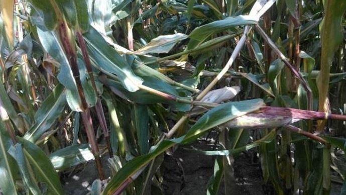 Forte pression de pyrale sur maïs fourrage avant récolte: perte de rendement liée à la casse de tige et à la chute d'épis.