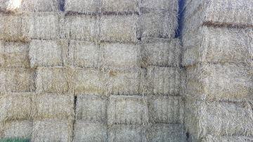 20% des éleveurs devront acheter de la paille, mais à quel prix?