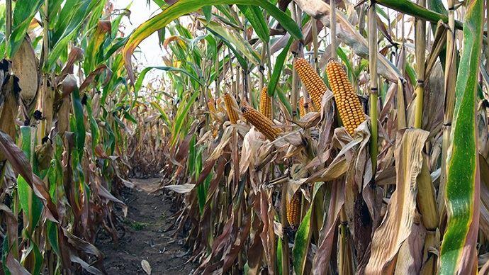 Cette année, des parcelles initialement prévues en maïs grain seront finalement ensilées pour compléter les stocks fourragers.