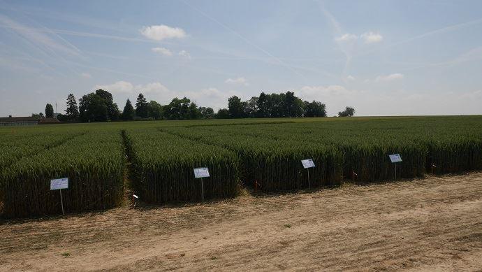 Essais blé BASF