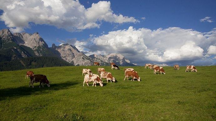Vaches en montagne
