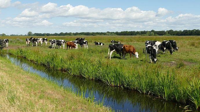 Holsteins près d'une rivière
