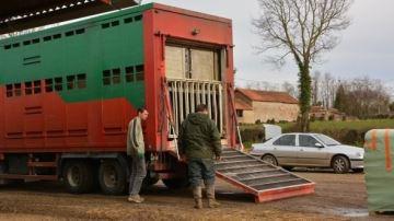 Des ONG réclament l'arrêt des exportations de bétail hors UE