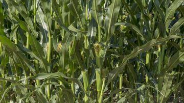 Advanta: optimiser le début de cycle des maïs avec le «pack implantation»