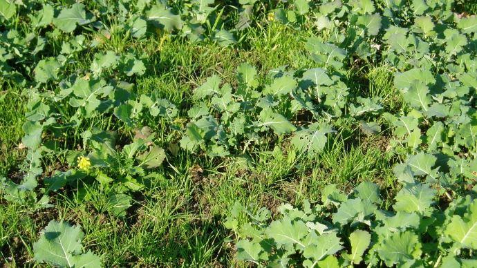 Vulpin des champs dans parcelle de colza