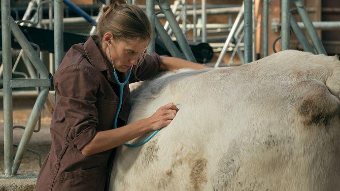 Vétérinaire rurale en oscultation sur un bovin