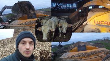 Des taurillons sur plaquettes de bois face au manque de paille