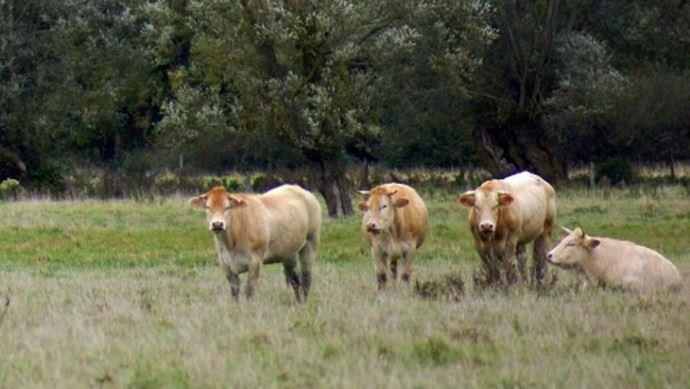 Blondes d'Aquitaine en pâture