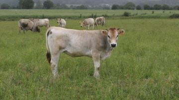 Une réduction inévitable de la production bovine française?
