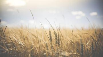 Le blé recule avec le scepticisme sur les exportations américaines