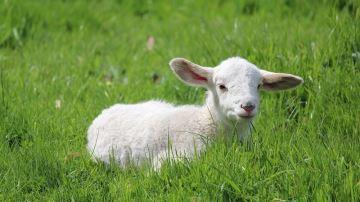 Pour Pâques, les Français ont privilégié l'agneau de France
