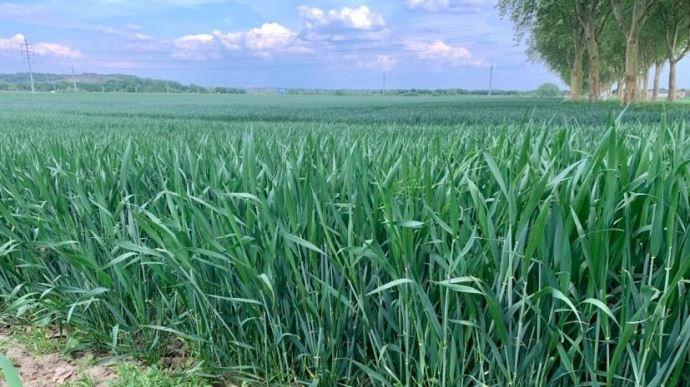 Toujours pas d'amélioration pour les conditions de culture du blé et de l'orge
