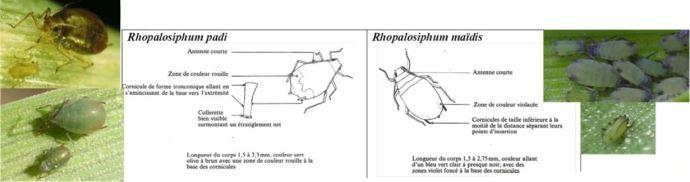 Fiche d'identification de deux espèces de pucerons du genre Rhopalosiphum