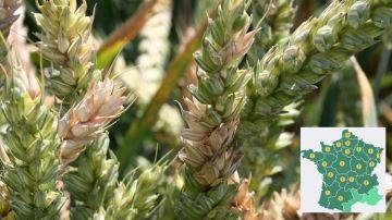 Blé, attention au risque fusariose autour de la floraison