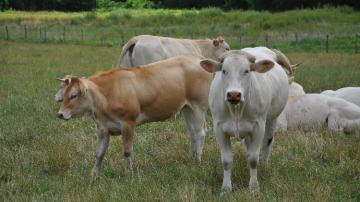 Les laitières toujours mieux valorisées que les allaitantes