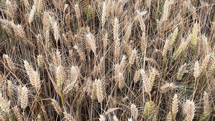Symptômes échaudage sur blé dur